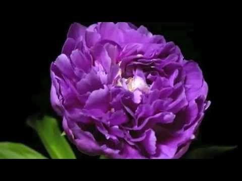 Aqui podemos encontrar algunas de las flores mas hermosas del mundo. Musica: Amazonia. Edicion: Jose F Loja. Una produccion de © veme 2010 - 2013