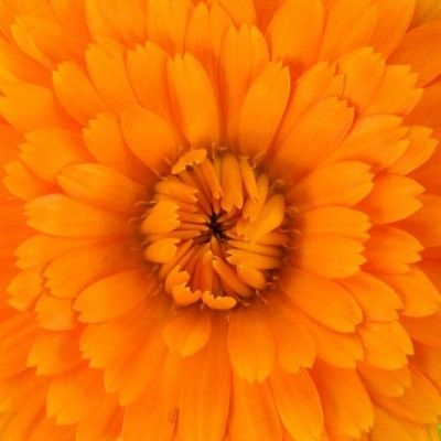 organic calendula, healing, soothing & softening properties. Anti-pathogenic, Calendula acts against fungal, amoebic, bacterial & even viral infections. Very helpful for sore, inflamed skin conditions where healing is priority. Calendula often recommended for soothing eczema, acne, burns, rashes, prematurely aged skin & whenever the skin needs help to heal, whether due to infection or physical damage.