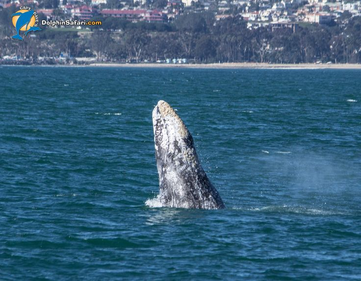 Breaching Gray Whale!  Lots of Gray Whales and lots of activity on the water- looking great for the Dana Point Festival of Whales March 4-5 and 11-12 2017!  #dolphinsafari #california #weekend #festival #saturday