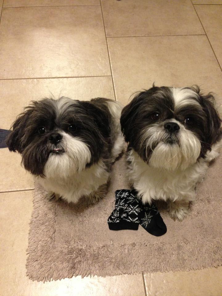 Shih Tzu Father And Son So Cute Shih Tzu Puppy Puppies Shih Tzu