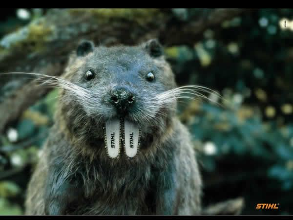 How much wood could a woodchuck chuck if a woodchuck had Stihl teeth??