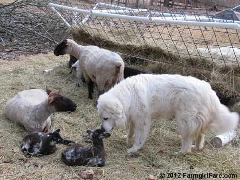Livestock guardian Daisy inspects one of her new charges. It's lambing season on the farm! :)