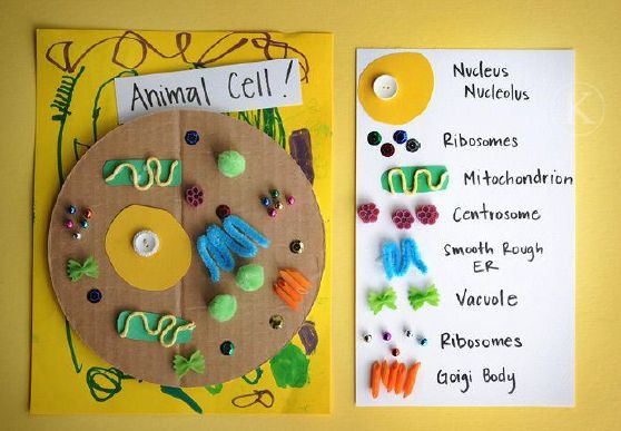 Model of an animal cell