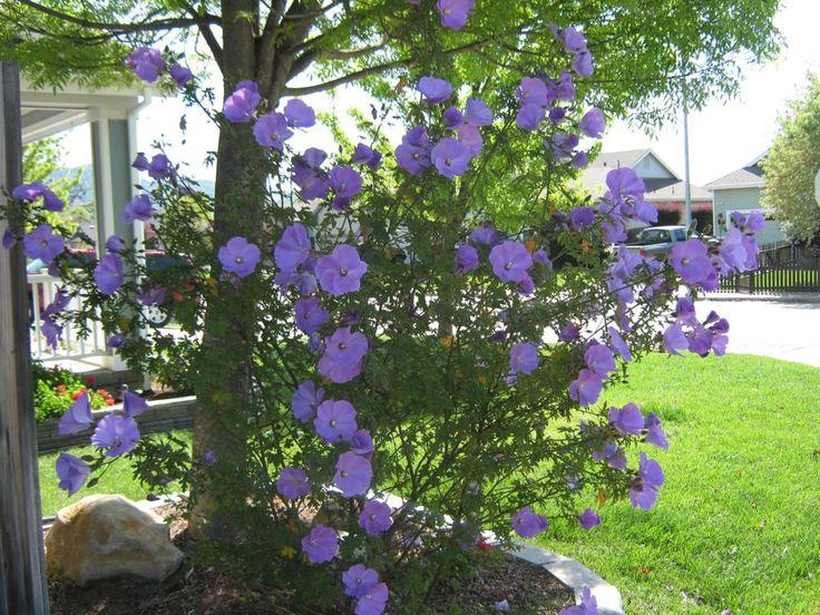 Purple Hibiscus Backyard Snob : Alyogyne huegelii  Blue Hibiscus already in my yard More