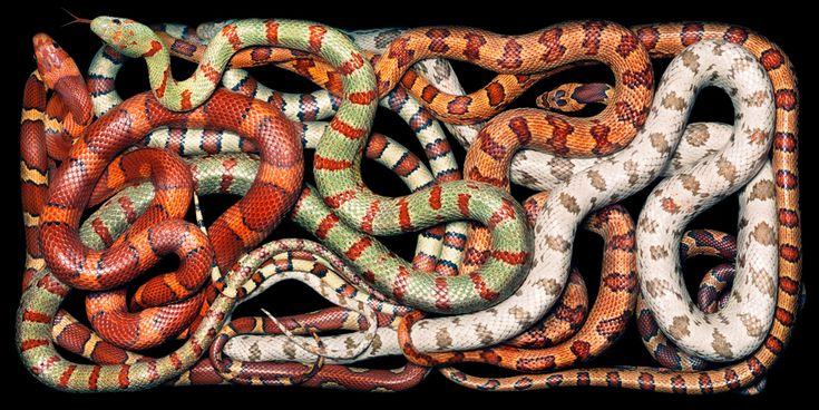 Hybrid Snakes by Tim Flach #hybrid #snakes #animal #photography