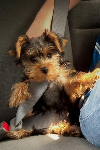 I M All Buckled In Let S Go Yorkie Lovers Yorkie Yorkie