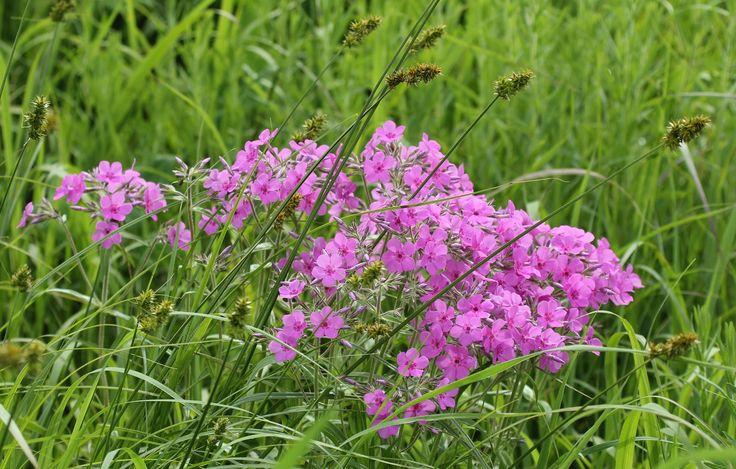 Downy phlox (phlox pilosa) varies from pure white to a deep reddish pink. Like m…