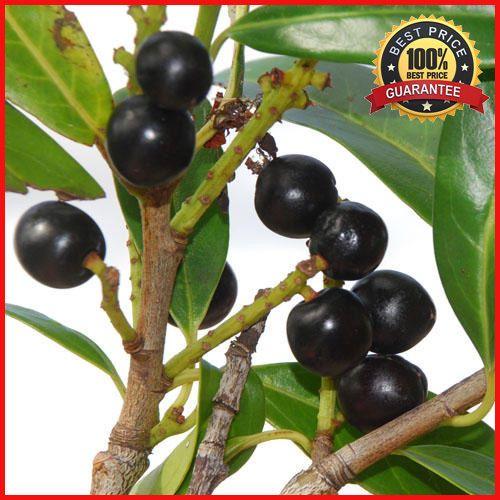 15 Seeds Laurus nobilis, Bay Laurel Tree, Laurel Tree, Sweet-Bay, Bayleaf