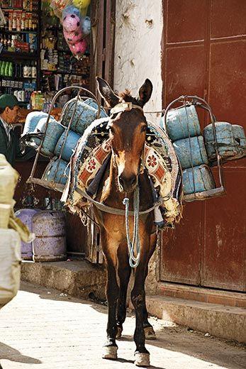 Morocco's extraordinary donkeysMule And Donkeys, Morocco Travel, Morocco Donkeys, Names, Donkeys Donkeys, Morocco Extraordinary, Extraordinary Donkeys, Horses Donkeys, Work Donkeys