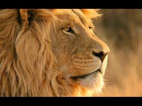 National Geographic - Lion life in The Night - Full HD Documentary