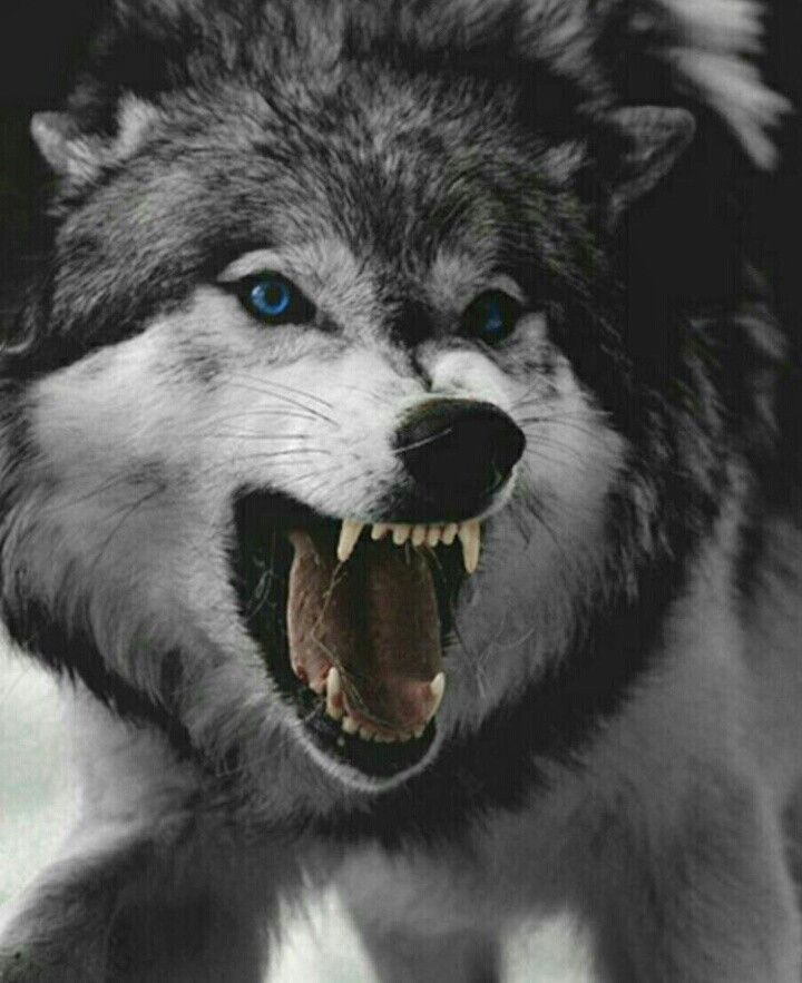The 25+ best Angry wolf ideas on Pinterest | Wolf black ...