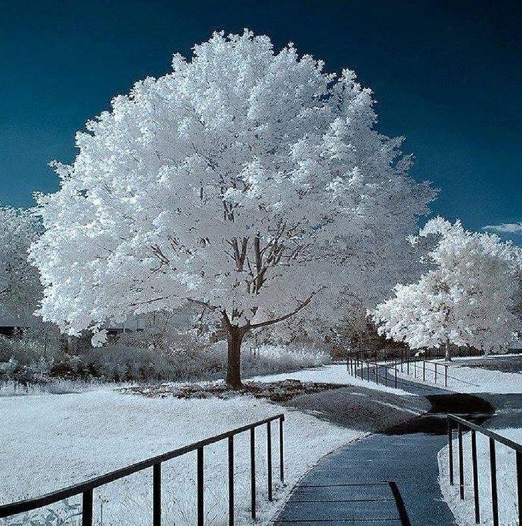 Белое дерево картинка и фото