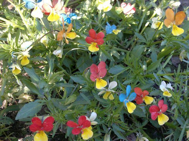 Akinajka Art For Kids: U Ani w ogródku zakwitły kolorowe bratki.