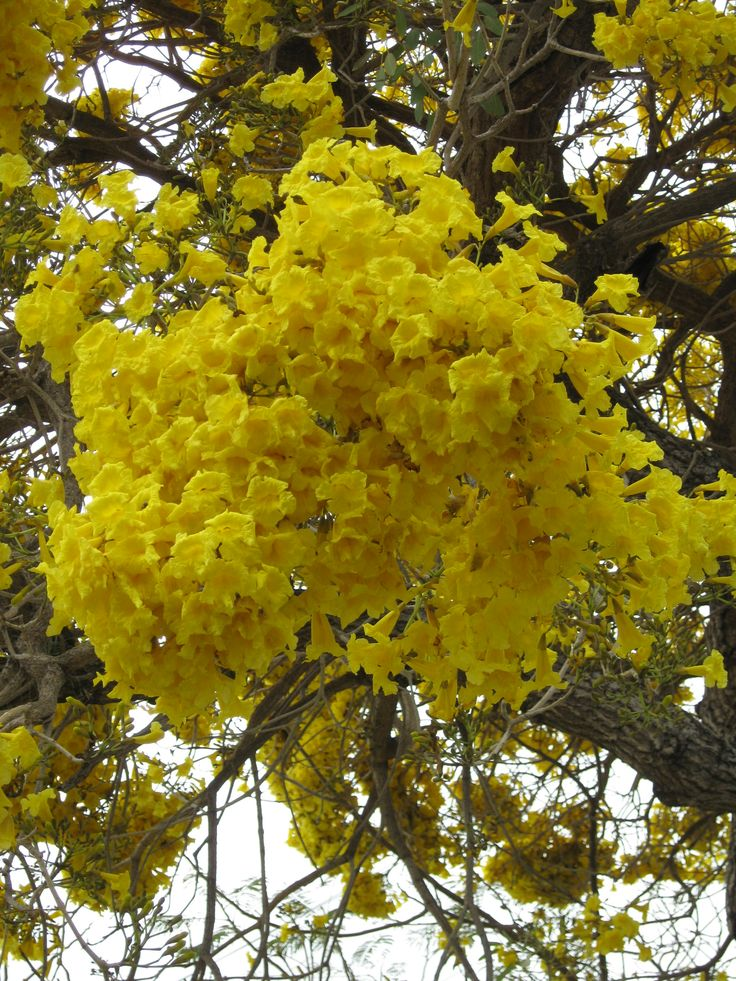 17 best images about garden on pinterest gardens florida flowers and flower - Trees that bloom yellow flowers ...