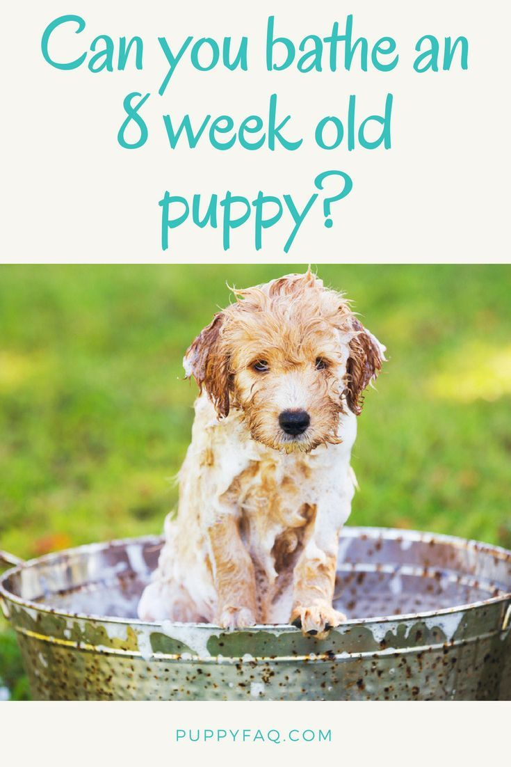 Can You Bathe An 8 Week Old Puppy Or Is It Too Soon Puppies