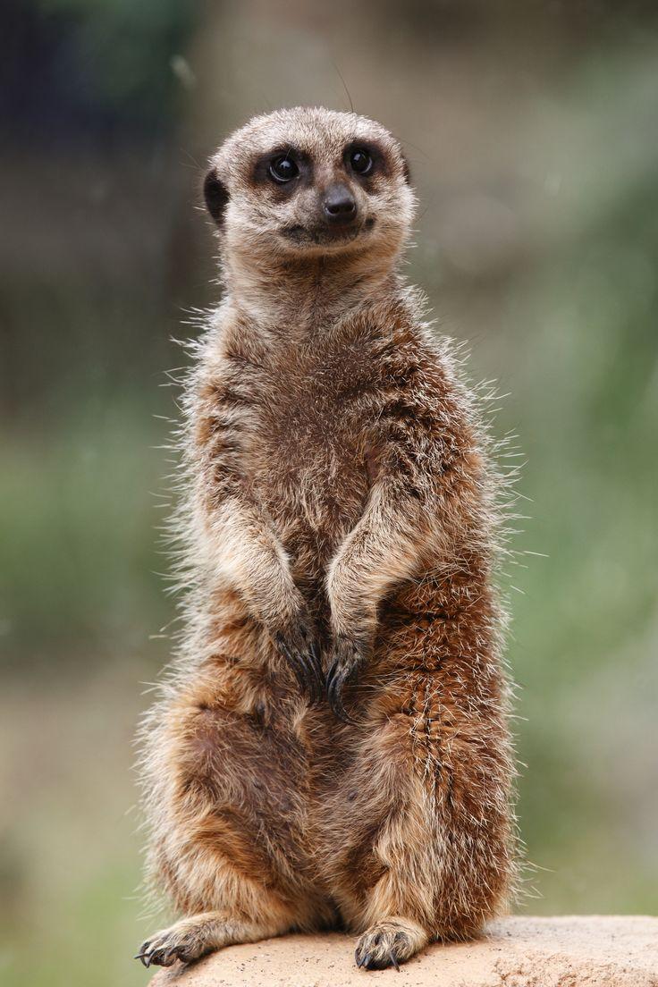 Meerkat Meerkat, Luxury dog, Animal companions