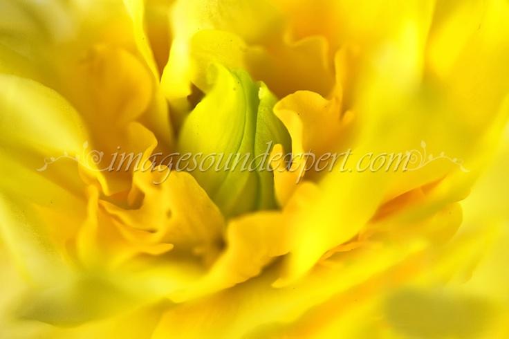 spring flowers, fruhlingsblumen, fleur de printemp, flori de primavara, macro, narcisa,