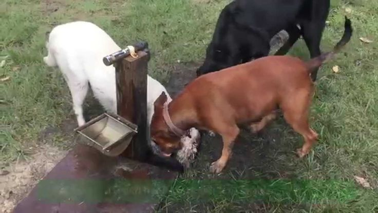 Banjo the White Labrador puppy with his girlfriend Mia