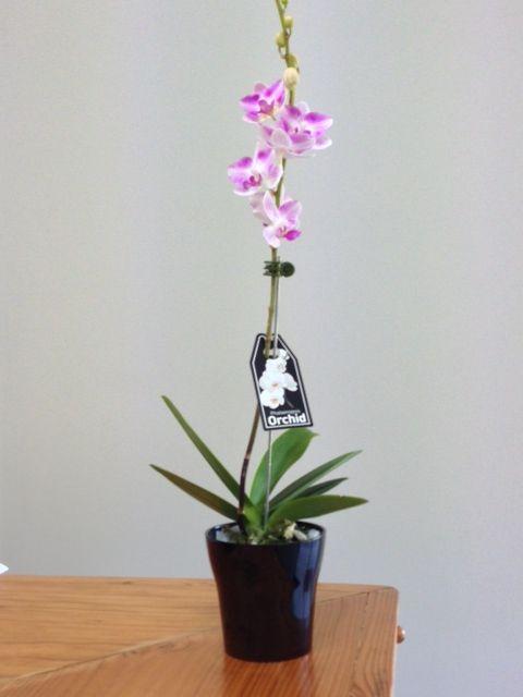 Stunning Phalaenopsis Orchids! www.summerhillnurseies.com.au