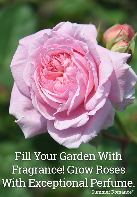 Summer Romance™ will fill your garden with fragrance.