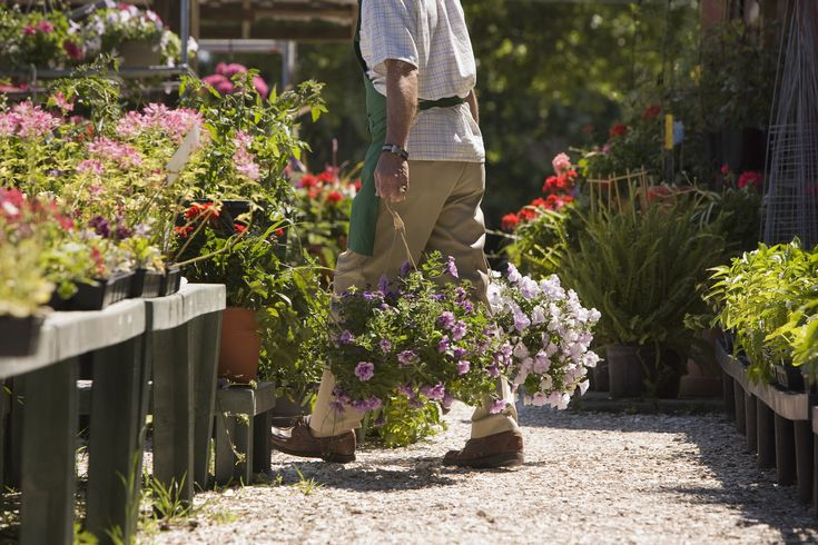 Buy Plants Online Wholesale Lavender Plants, Purchase Lavender Plants Cheap