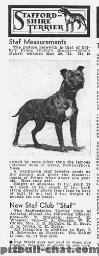 This is Colby's Primo, one of the gamebred American Pit Bull Terriers that were the building blocks of the American Staffordshire Terrier.