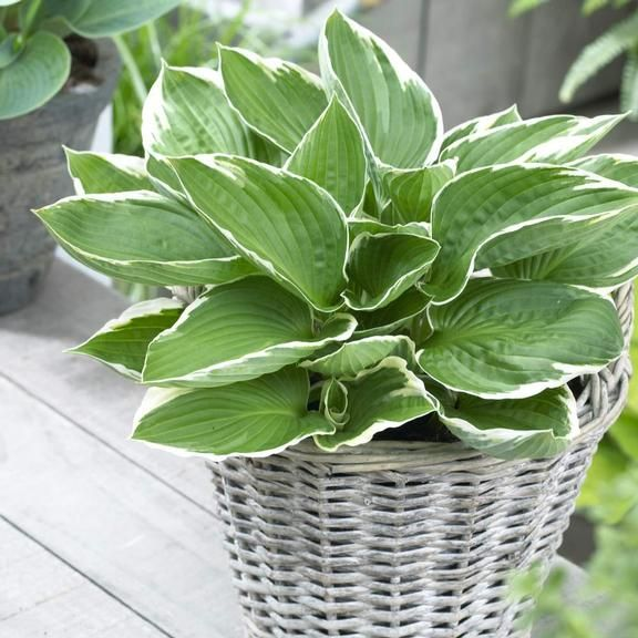 Hosta Francee. An attractive hosta with glossy green leaves and white edges. The Francee is a classic hosta that is a great companion for spring bulbs.