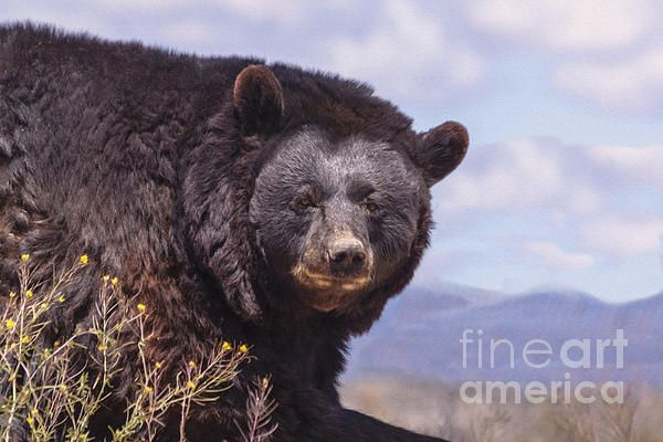 Amazing American Black Bear by Janice Rae Pariza #bear