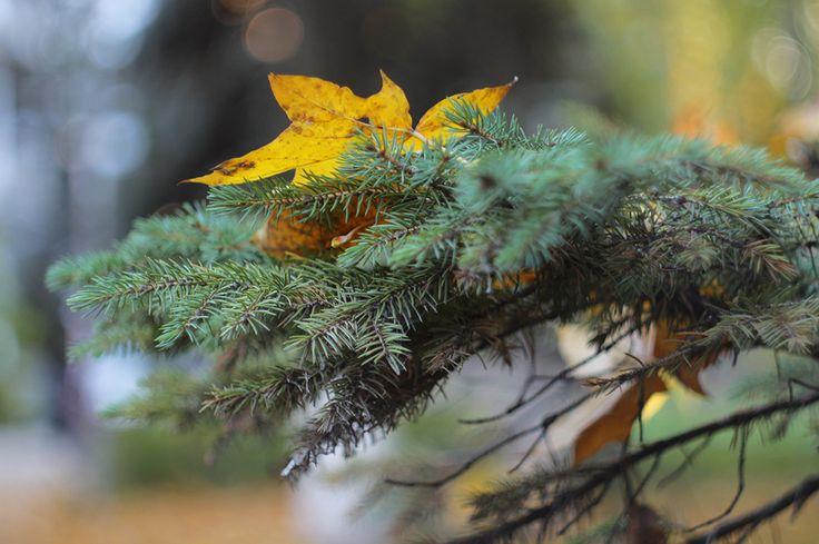Листья - это письма лета... / leaves, autumn, spruce /
