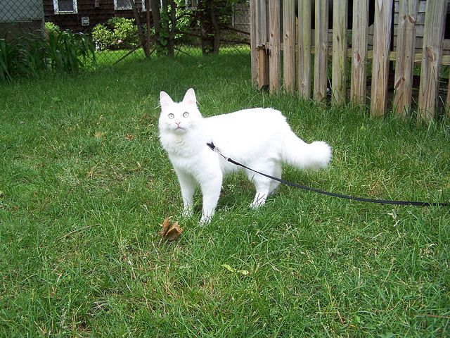 a white somali cat on a leash cat breeds that can walk on a leash pinterest somali and cat. Black Bedroom Furniture Sets. Home Design Ideas