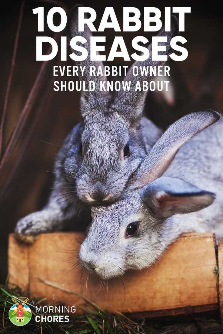 If you're a new rabbit owner, as pet or meat source, first you need to know all the common rabbit diseases and how to treat them. Here's the list.