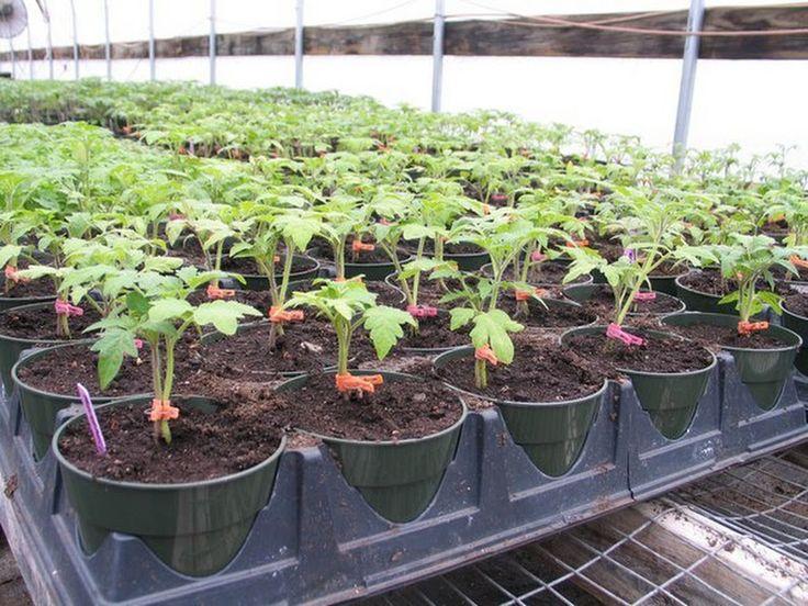 Помидоры с прищепками (с двумя корнями) Данная агротехнология получения щедрого урожая помидор в домашней теплице основана на выращивании одного кустик... - Valery Ananyin - Google+