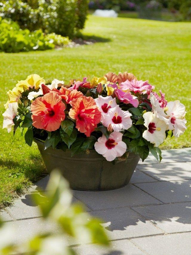 Выращивание садового гибискуса и уход за ним  Гибискусы, до сих пор известные у нас под именем китайской розы, давно сменили статус сугубо комнатного растения на звание одной из самых модных красивоцветущих культур для дизайна сада.