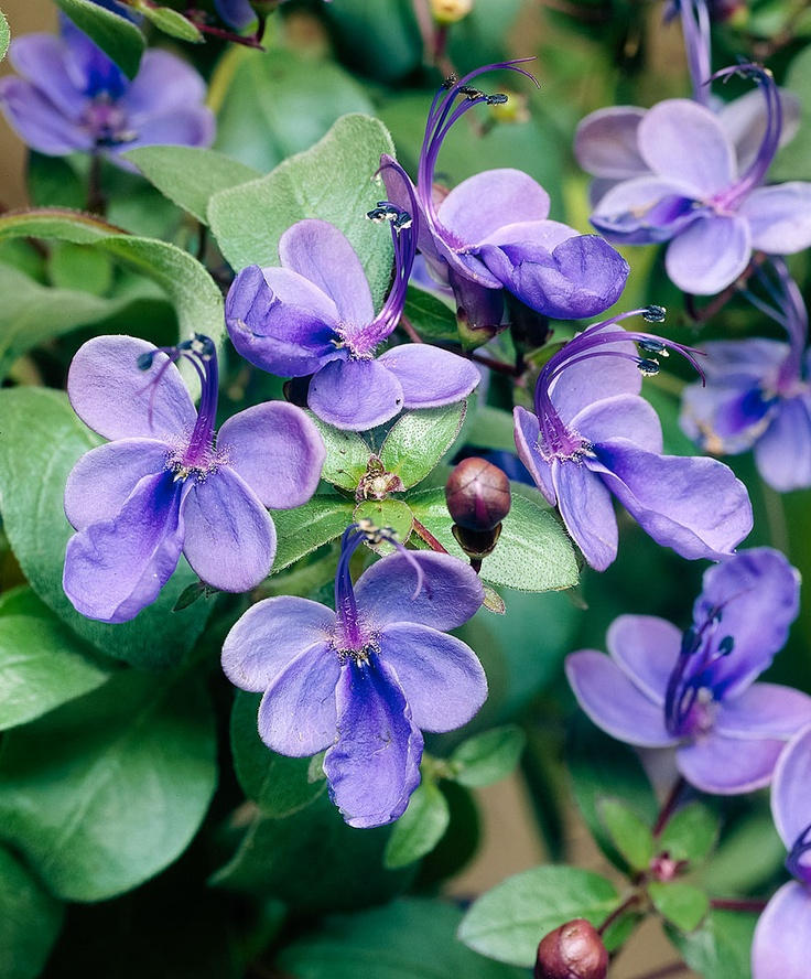 Blue Butterfly Bush - A profusely flowering patio tub plant!