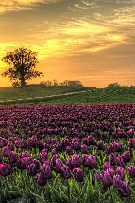 ~`` Gorgeous Deep Purple Tulip ..The beauty of  ✿ The beauty…