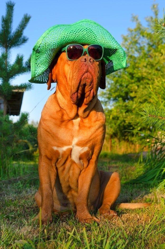 Бульмастиф (фото): храбрый защитник и ласковый друг для всей семьи  Смотри больше http://kot-pes.com/bulmastif-foto-xrabryj-zashhitnik-i-laskovyj-drug-dlya-vsej-semi/