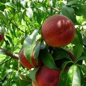 Contender Peach from Stark Bros Gardens Peach trees