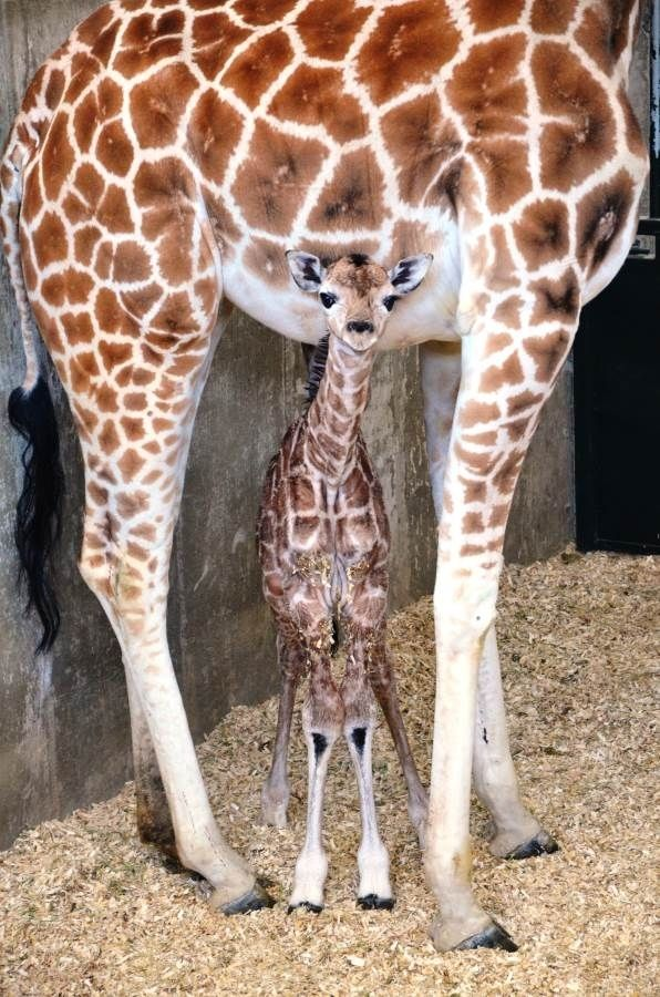 We talk about those knobby little knees. | What We Talk About When We Talk About This Tiny Baby Giraffe