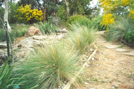 Poa labillardieri is an large tussock grass used in landscaping
