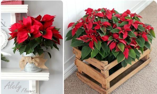 Flores de noche buena para decorar navidad
