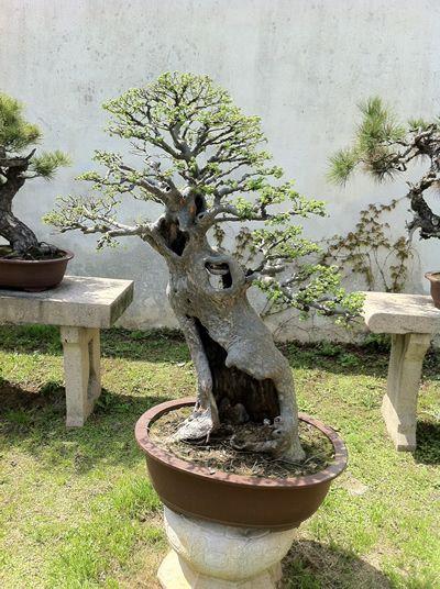 Lingering Garden bonsai 4