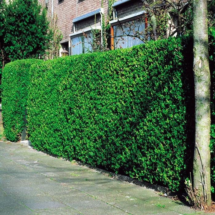 Ligustrum ovalifolium siberian privet hedge - 10 hedge plants Buy online order yours now