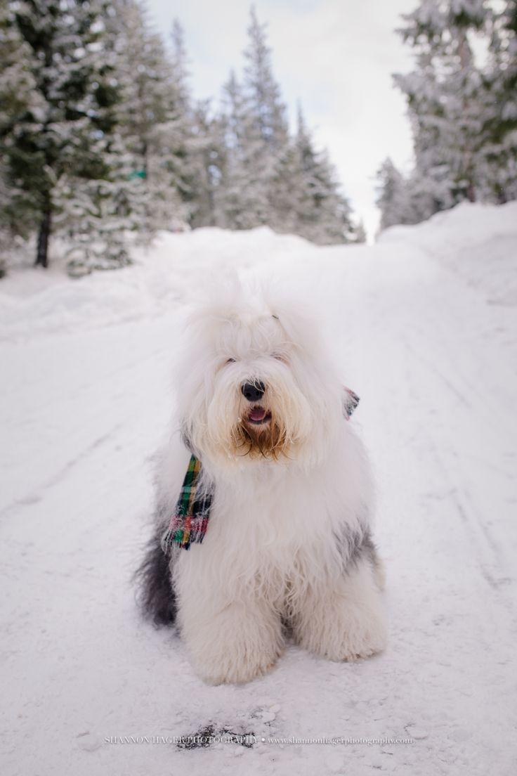 old english sheepdog, snowdowne, mt hood snow dog