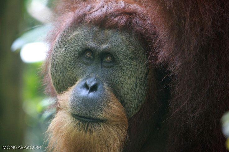 Orangutan with Large Face Plate
