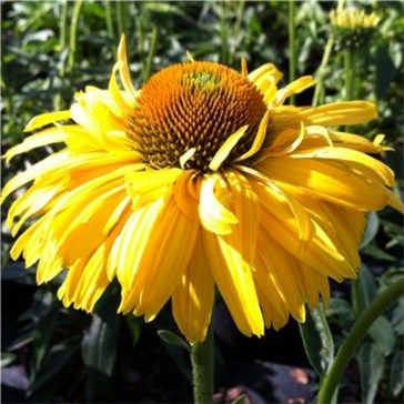 43 best mellow yellow yellow plants images on pinterest yellow echinacea sunrise echinacea or coneflowers are a quintessential part of the late summer planting mightylinksfo Images