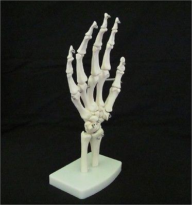 25+ best ideas about human skeleton model on pinterest | skeleton, Skeleton