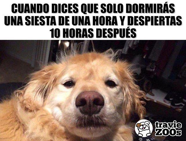 En Que Ano Estamos Quien Soy Perro Dog Golden Siesta Dormir Flojo Sleep Memes Perros Memes Divertidos Memes De Animales Divertidos