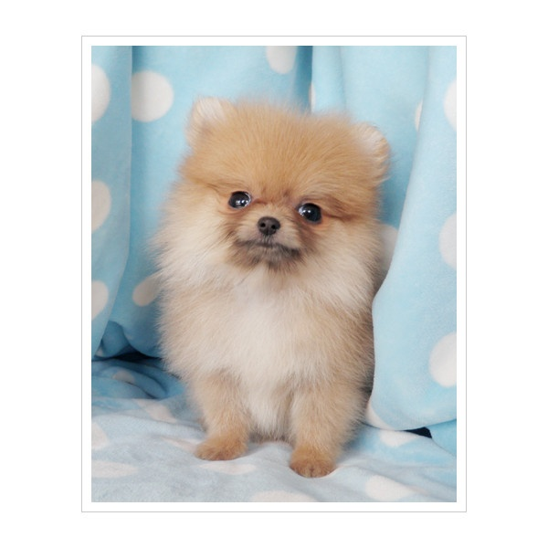 Best 25+ Pomeranian puppies for sale ideas on Pinterest ... | 600 x 600 jpeg 60kB