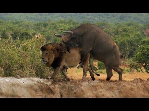 Lion vs trâu rừng vs sư tử vs eagle  |  animals attack on camera 2017