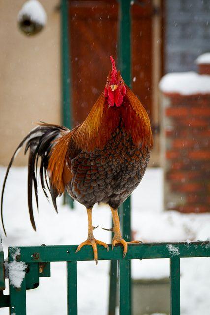 Coq a la Neige - Chickens are the cutest!